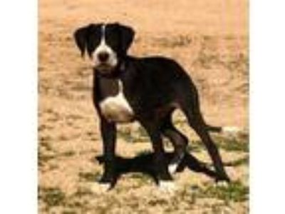 Adopt LENNY a Labrador Retriever, Mixed Breed