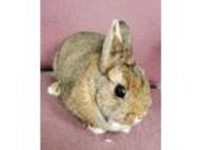 Adopt Rabbits available at Fairfield Petsmart a Lionhead / Mixed (short coat)