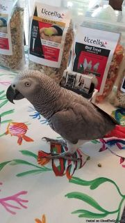 Talking African grew Parrots for Adoption