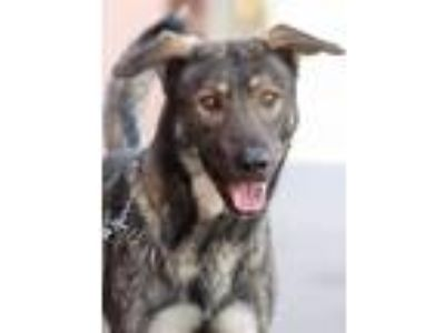 Adopt *Andre von Angarola a German Shepherd Dog