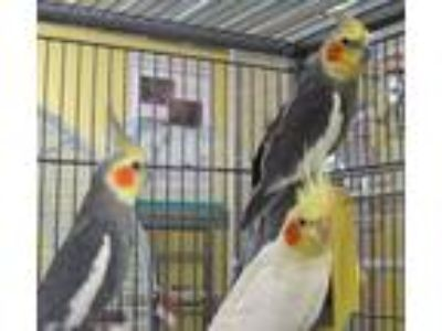 Adopt George, Sweetie & Tweety a Cockatiel bird in Edgerton, WI (21447844)
