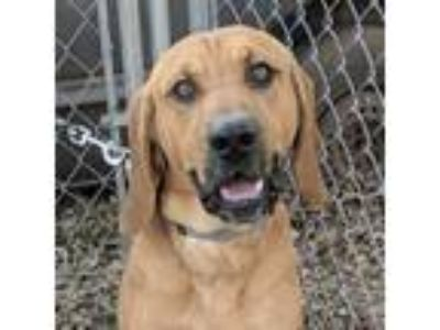 Adopt JOE a Redbone Coonhound