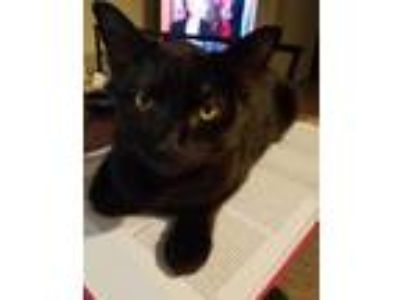 Adopt Rumi a Domestic Short Hair