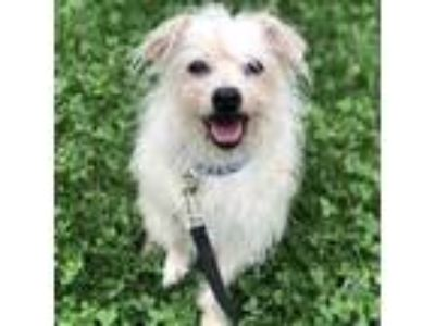 Adopt Maxine a White Terrier (Unknown Type, Small) / Mixed dog in Janesville