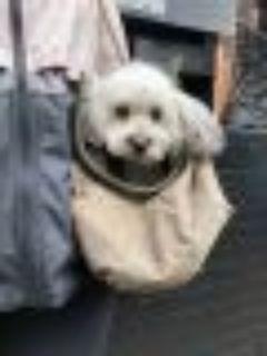 Kenzi Poodle - Shih Tzu Dog
