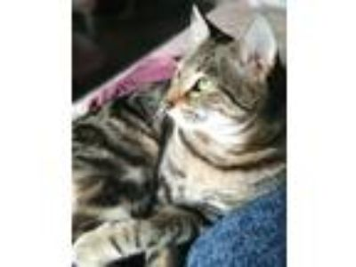 Adopt Minnie Min a Tiger Striped American Shorthair (short coat) cat in Irvine