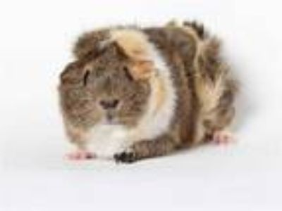 Adopt a Calico Guinea Pig / Mixed small animal in Burbank, CA (25346993)