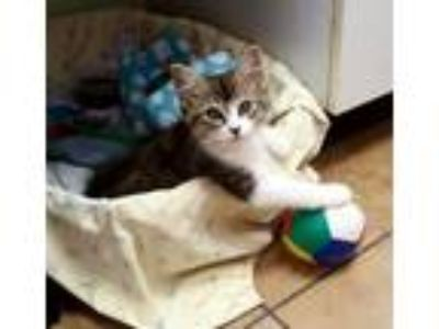 Adopt India a Brown Tabby American Shorthair / Mixed (medium coat) cat in