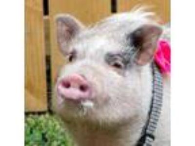 Adopt Piggy Sue a Black Mixed Breed (Large) / Mixed dog in Savannah