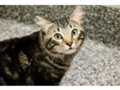 Adopt Star a Domestic Medium Hair