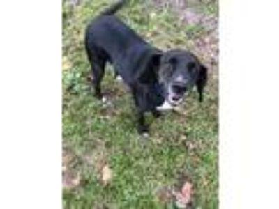 Adopt MISTY a Beagle, Black Labrador Retriever