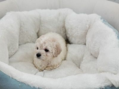 Maltipoo Puppy – Male- Moreno ($1,299)