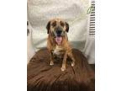 Adopt MAIZIE a Brown/Chocolate Boxer / Mixed dog in Tangent, OR (24773687)