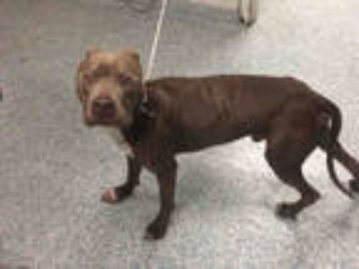Adopt *SLIM a Brown/Chocolate - with White American Pit Bull Terrier / Mixed dog