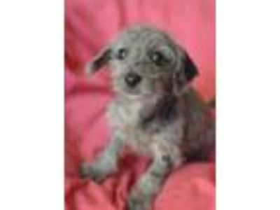 Adopt Sprinkles a Merle Dachshund / Poodle (Miniature) / Mixed dog in Santa Ana