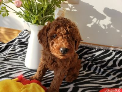 Poodle (Miniature) PUPPY FOR SALE ADN-105210 - Pure Red coated Miniature Poodle 3 puppies