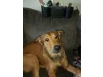 Adopt Delgado a Red/Golden/Orange/Chestnut - with Black Golden Retriever / Mixed