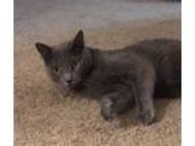 Adopt Shiloh a Gray or Blue Russian Blue / Mixed (short coat) cat in Mobile