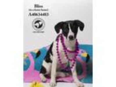 Adopt Bliss - BIO! (In a Foster Home) a Border Collie
