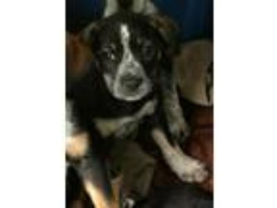 Adopt ROXY a Australian Cattle Dog / Blue Heeler, Border Collie