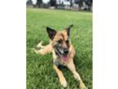 Adopt Lulu a Tan/Yellow/Fawn Shepherd (Unknown Type) / Terrier (Unknown Type