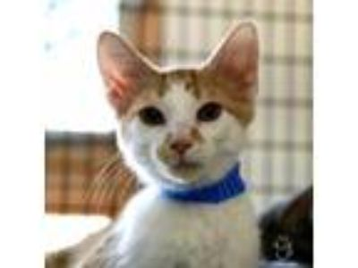 Adopt Woody a Orange or Red Domestic Shorthair / Domestic Shorthair / Mixed cat