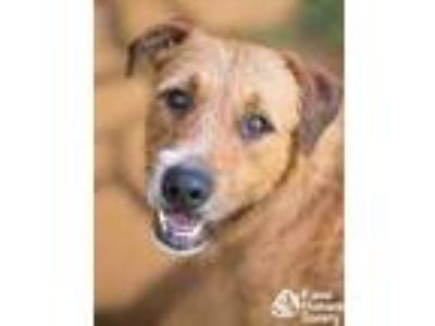 Adopt Bobby a Red/Golden/Orange/Chestnut Airedale Terrier / Mixed dog in Lihue