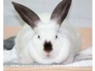 Adopt Annie / Smudge a Californian / Mixed (short coat) rabbit in Pflugerville