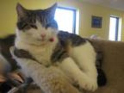 Adopt Kitty a Brown or Chocolate (Mostly) Domestic Shorthair (short coat) cat in
