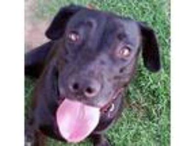 Adopt Vanessa a Labrador Retriever