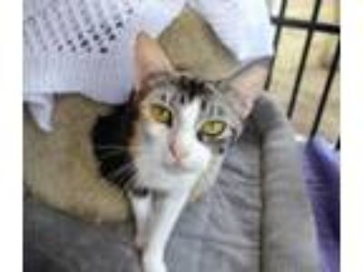 Adopt Carly a Calico, Domestic Short Hair