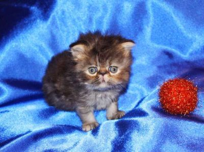 Tabby persian baby girl