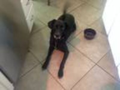 Adopt Emma a Black Labrador Retriever / Terrier (Unknown Type