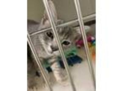 Adopt Launch a Gray or Blue Domestic Shorthair / Domestic Shorthair / Mixed cat