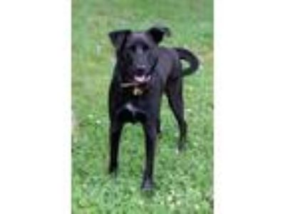 Adopt Tina a Black - with White Labrador Retriever / Mixed dog in Waldorf
