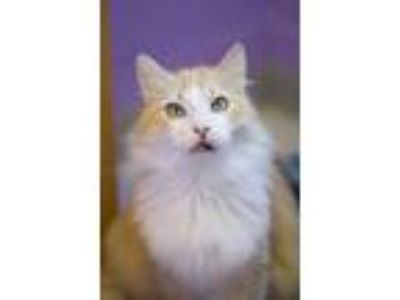 Adopt Reginald a Orange or Red (Mostly) Domestic Longhair (long coat) cat in