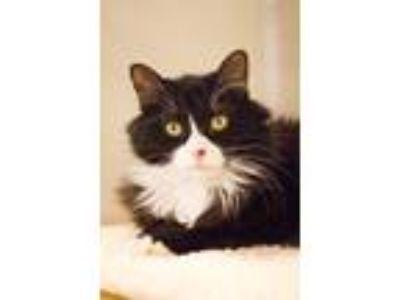 Adopt Ziggy a Black & White or Tuxedo Domestic Shorthair (short coat) cat in
