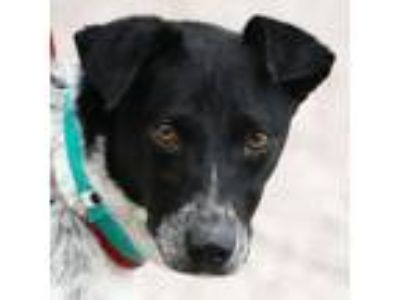 Adopt Remi a Australian Cattle Dog / Blue Heeler, Pointer