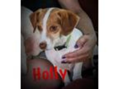 Adopt Holly a Beagle, Jack Russell Terrier