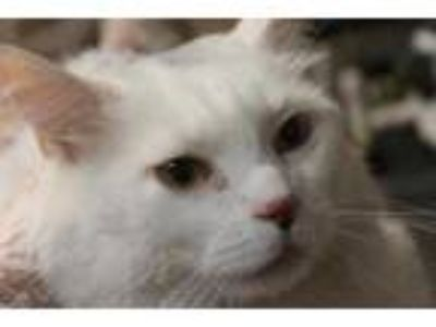 Adopt Halo a White Domestic Longhair / Domestic Shorthair / Mixed cat in Daytona