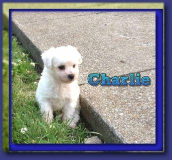 Charlie Male AKC Bichon Frise