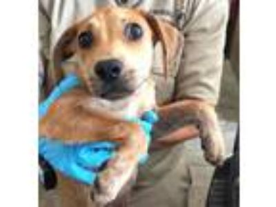 Adopt Malcolm a Hound (Unknown Type) / Shepherd (Unknown Type) / Mixed dog in