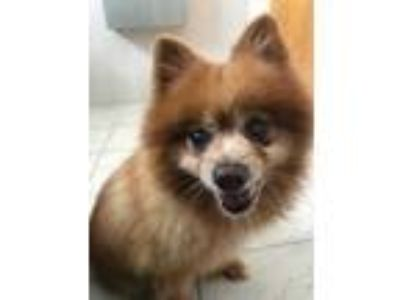 Adopt Giles a Red/Golden/Orange/Chestnut Pomeranian / Mixed dog in Clearwater