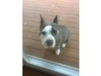 Adopt Nena a Gray/Blue/Silver/Salt & Pepper American Pit Bull Terrier / American