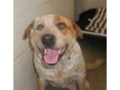 Adopt SARGEANT a Red/Golden/Orange/Chestnut - with White Australian Cattle Dog /