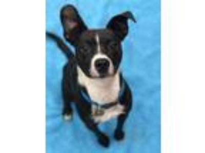 Adopt Timmy a Black - with White Boston Terrier / Miniature Pinscher / Mixed dog
