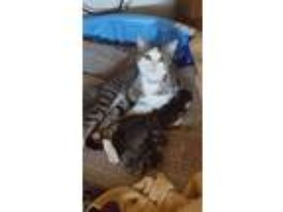 Adopt Lilly & 5 Kittens a Tiger Striped Domestic Shorthair / Mixed cat in