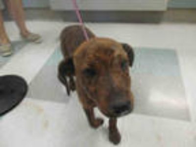 Adopt OTTO a Brindle Hound (Unknown Type) / Mixed dog in Oklahoma City