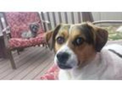 Adopt Rico a White - with Tan, Yellow or Fawn Beagle / Pug / Mixed dog in