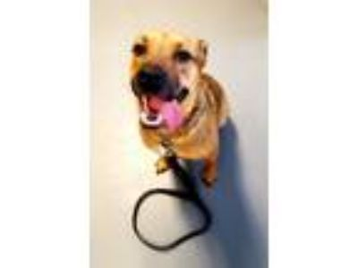 Adopt Chewy a Tan/Yellow/Fawn - with Black Labrador Retriever / German Shepherd